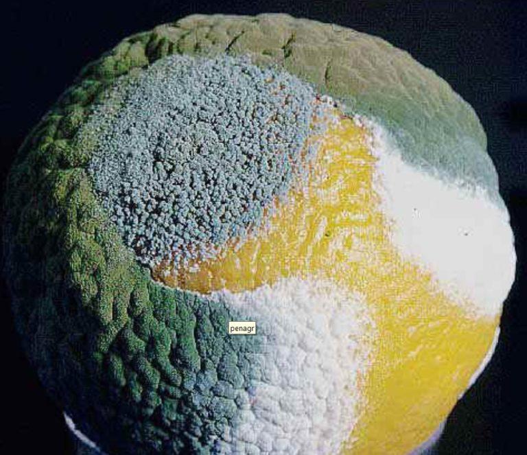muffa verde azzurra degli agrumi